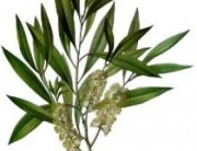 tea-tree-oil-plant